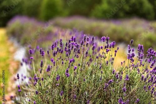 lawendowe pole pod lasem w łagodnym letnim świetle - 211679014