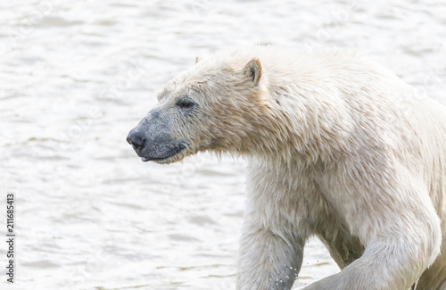 Foto op Canvas Ijsbeer Polar bear