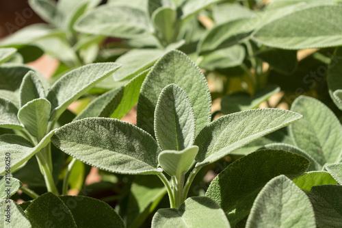 Valokuva  Salvia