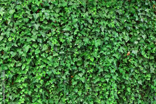 Stampa su Tela Climbing ivy plant Hedera helix background