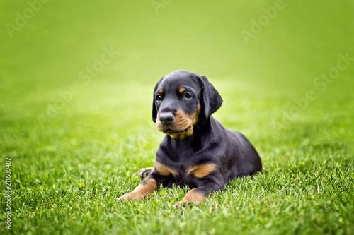 Fotomural Doberman puppy in grass