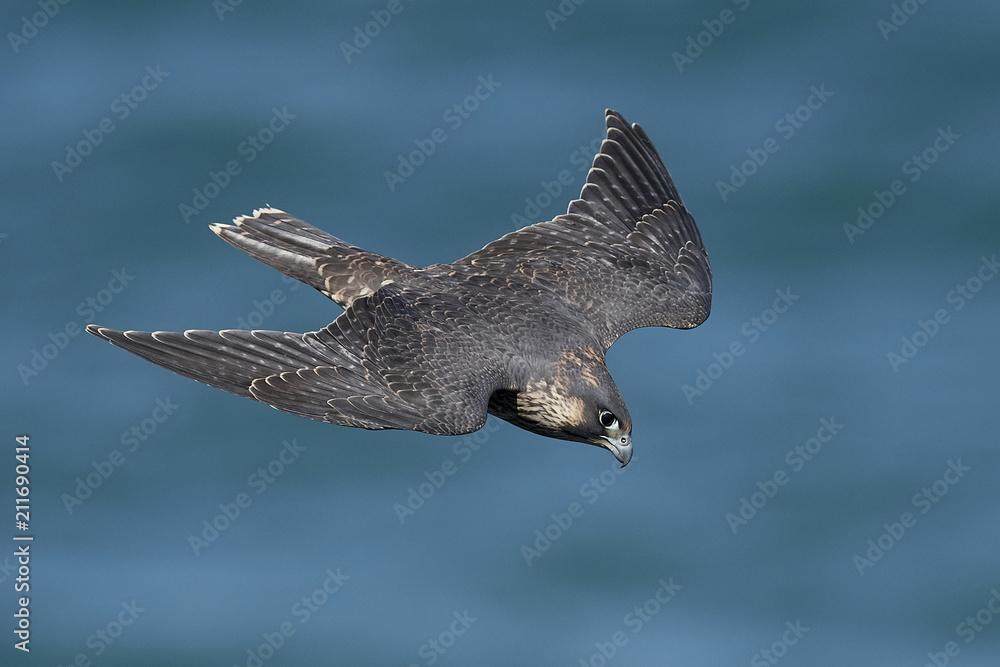 Fotografie, Obraz Peregrine falcon in its natural habitat in Denmark