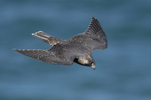 Peregrine Falcon In Its Natural Habitat In Denmark
