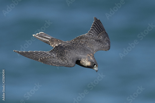 Peregrine falcon in its natural habitat in Denmark Fototapet