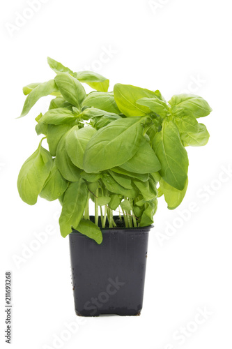Poster Aromatische potted basil plant in white
