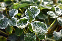 Frost On A Green Leaf
