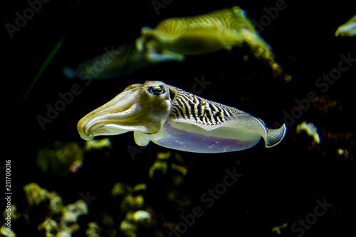 Fotografie, Obraz  Pharaoh Cuttlefish