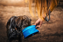 Thirsty German Shepherd Dog Drinks Water From A Dog Bowl Given To Him By Woman