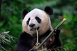 canvas print picture - Panda Bear Eating Bamboo for Lunch. Bifengxia Panda Reserve - Ya'an, Sichuan Province China. Panda looking away from the viewer while biting a stick of Bamboo. Endangered Wildlife Conservation