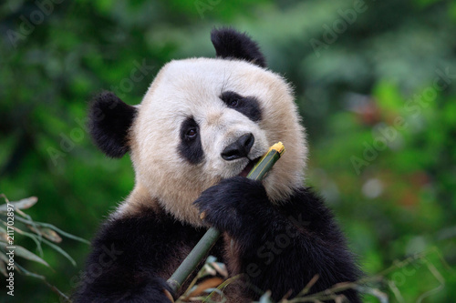 La pose en embrasure Panda Panda Bear Enjoying/Eating Bamboo, Bifengxia Panda Reserve in Ya'an - Sichuan Province, China. Panda looking at the viewer and holding a large chunk of Bamboo. Endangered Species Animal Conservation