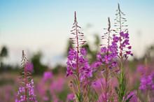 Pink Ivan Tea Or Blooming Sall...