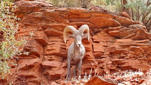 Desert Bighorn Sheep On A Moun...
