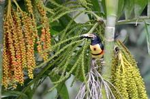 Collared Aracari In The Wild, Costa Rica