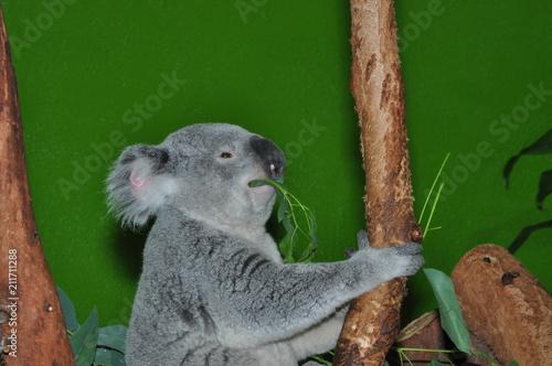 Spoed Foto op Canvas Koala koala