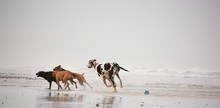 Great Dane Dog Outdoor Portrait Chasing Two Other Dogs Down Beach