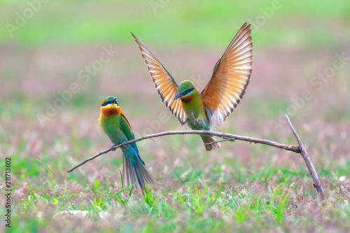 Fotografie, Obraz  Blue-tailed bee-eater