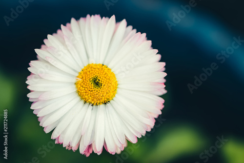 Foto op Aluminium Madeliefjes Beautiful daisy with rich green leaves grows in blue rounded flower bed close up. Small white marguerite with yellow pollen and with pink tips of petals in macro with copy space in vintage style.
