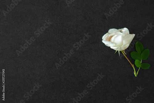 Obraz Fresh, white rose on the black, dark background. Condolence card. Empty place for emotional, sentimental text or quote. - fototapety do salonu