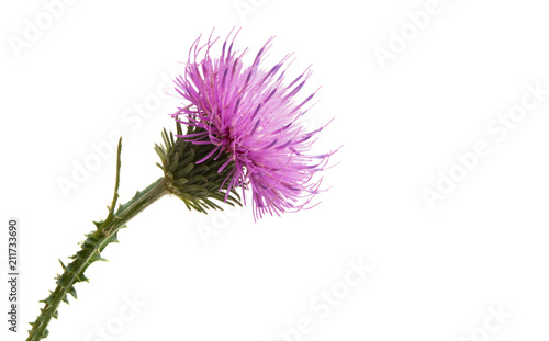 Leinwand Poster Thistle flower isolated