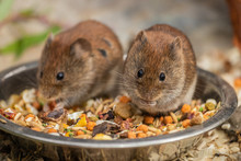 The Harvest Mouse (Micromys Mi...