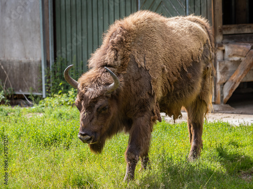 Tuinposter Bison The European bison (Bison bonasus)