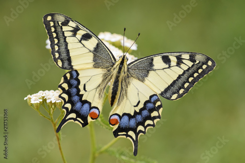 Fotografie, Obraz  Old World Swallowtail butterfly - Papilio machaon, beautiful colored iconic butterfly from European meadows and grasslands