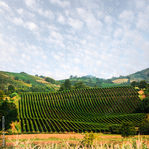 Keuken foto achterwand Wijngaard Amazing rural landscape with green vineyard on Italy hills. Vine making background