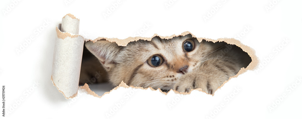 British cat looking through hole in paper isolated