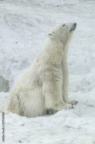 Foto op Aluminium Ijsbeer Polar bear (ursus maritimus) with white snow background