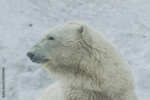 Spoed Foto op Canvas Ijsbeer Polar bear portrait (ursus maritimus)