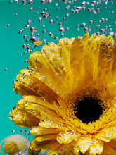 Brightyellow Gerbera Flower In Dew