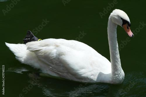 Keuken foto achterwand Zwaan Duck, Geese, Goose, Swan