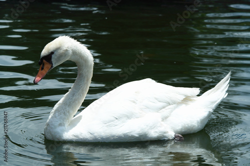 Deurstickers Zwaan Duck, Geese, Goose, Swan