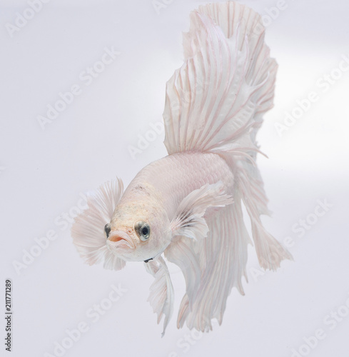 Halfmoon betta fish, siamese fighting fish, Capture moving of fish, Betta splend Fototapet