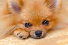 Beautiful Puppy Pomeranian Spitz Closeup, Selective Focus