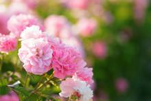 Pink Rose Bush Closeup On Field Background
