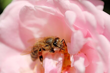 Bee Is In The Center Of Pink Rose In The Spring Garden