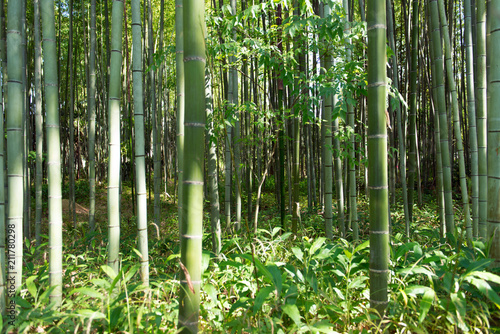 In de dag Bamboo Bamboo grass stalk plants stems growing in dense forest as a peaceful green background