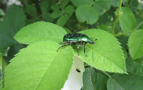 Valokuvatapetti Maybeetle on the green leaves