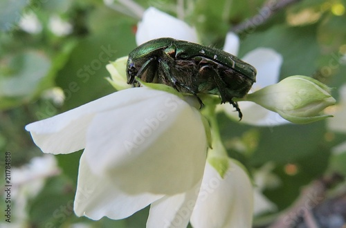 Valokuvatapetti Maybeetle on jasmine flower