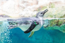 Penguins Swim In The Aquarium ...