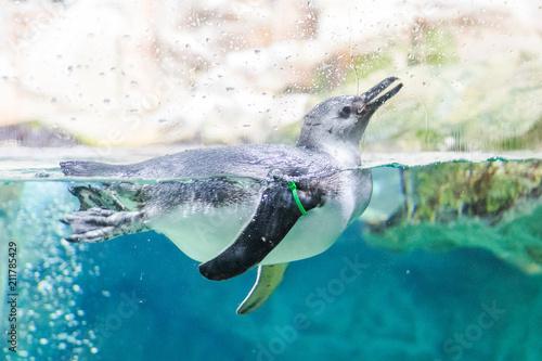 Penguins swim in the aquarium of Genoa (Italy)