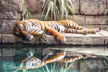 Tiger Lying Next To Water With...