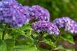 青紫色のアジサイの花