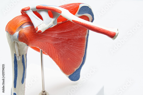 Fototapeta Human shoulder model in medical office obraz