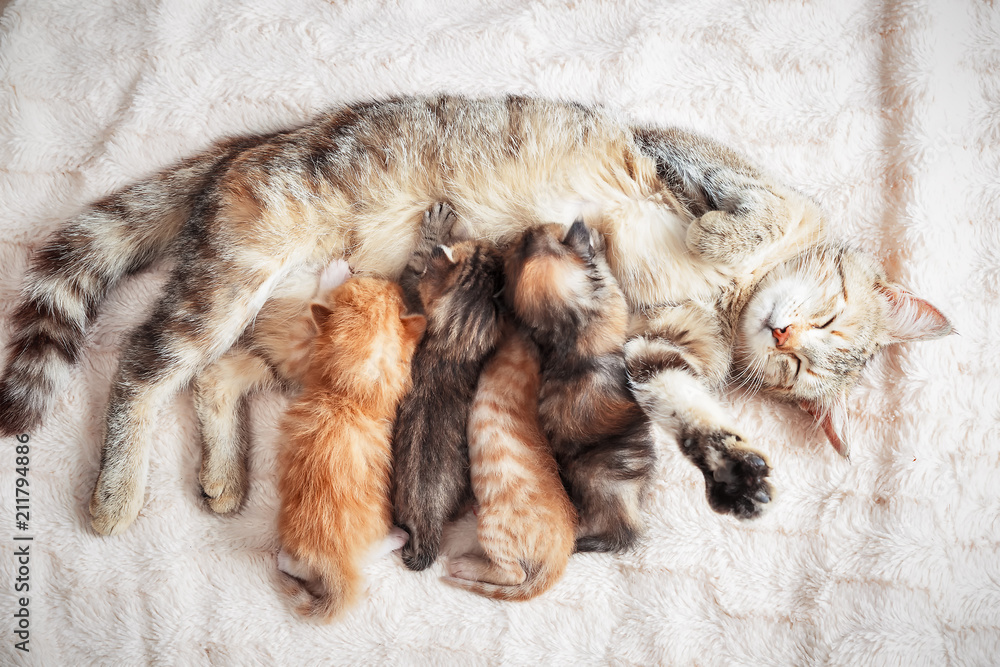 Mother cat nursing baby kittens