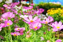 The Pink Cosmos In Garden