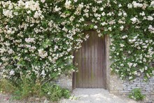 Rose Covered Garden Wall, Cots...