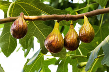 Ripe Black Figs Hanging From The Branch