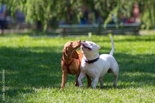 Obraz Due cagnolini liberi nel parco che si scambiano bacini - fototapety do salonu